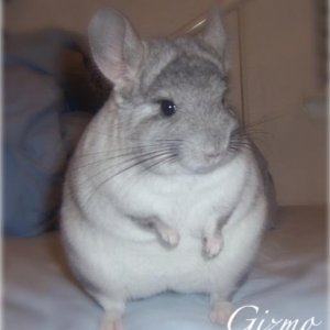 My first chinchilla who is still my little lovebug.  Gizmo is a mosaic pet-only female who I bought from a petstore.  Just for fun, I took her to the