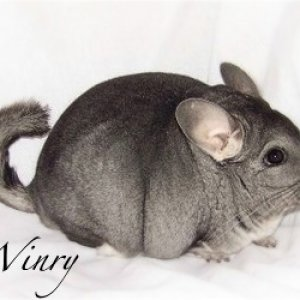 My fussy chinchilla, Winry, a standard gray female.  Winry is my only girl who sprays and is very easily bothered - she likes things her way and will