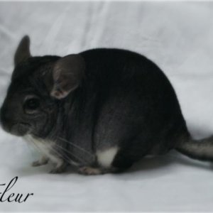 Fleur is a gorgeous standard female from Shoots Chinchilla Ranch.  Fleur is lovely to look at and has a lovely personality as well.