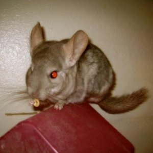 Furby eating a cheerio