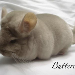 Buttercup - gorgeous homo beige girl from Bowen Ranch