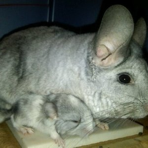 Chichi and baby Tribble