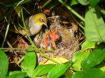 1024px-Silvereye_nest_feeding_chicks.jpg