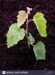 birch-seedling-AFFY82.jpg