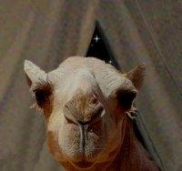camels-nose.jpg