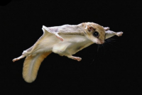 flying-squirrel.png