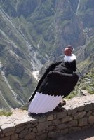 Adean Condor.jpg