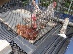 Hens (2)_v1.jpg