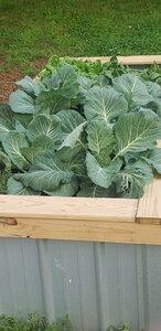 Flat Dutch Cabbage.jpg