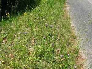 Prunela vulgaris a (23)a.jpg