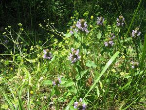 Prunela vulgaris a (24)a.jpg