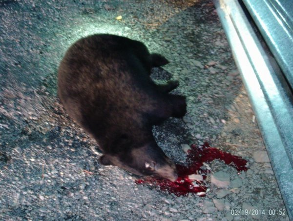 Bear I Hit With Honda.JPG
