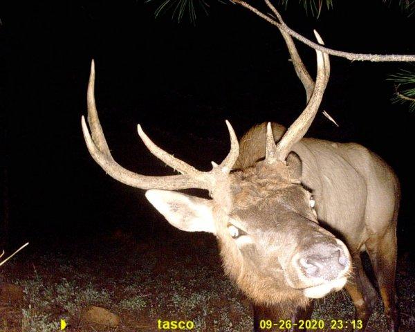 Bullwinkle elk.JPG