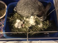 bunny in nest box with kits.jpg