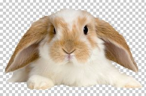 imgbin-domestic-rabbit-holland-lop-pet-tan-rabbit-rabbit-ptyLhe7R0JwhyvVQf8uYtxAuq.jpg