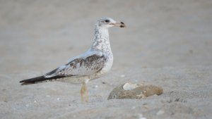 ring-billed_gull.JPG