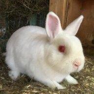 Cute Alice bunnies