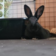 Bunny Pumi