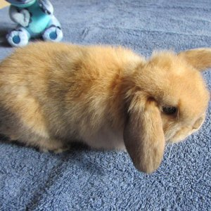 Theodore the Holland Lop