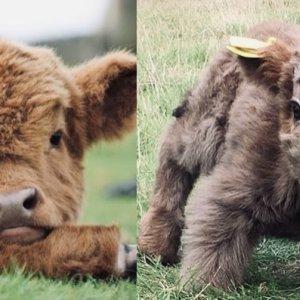 Cute cows that I found on google lol