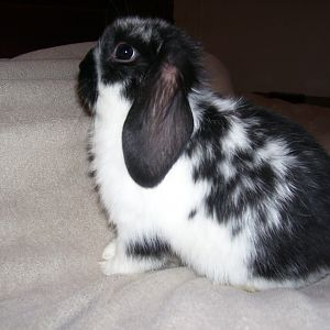 Texas Mini Lop House Bunnies Need Forever Homes