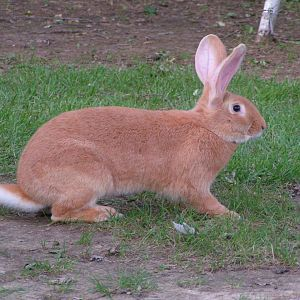 Fawn Flemish Giant