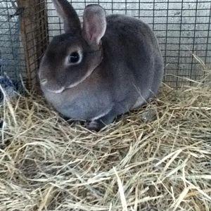 Show bunnies or future show/breeder Bunnies