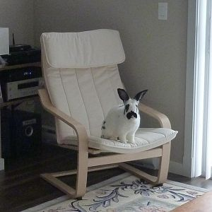 Gus in the Poang Chair