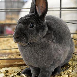 Mini-Rex rabbit - blue