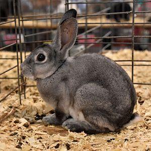 Mini-Rex rabbit - chinchilla