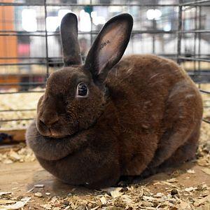 Mini-Rex rabbit - chocolate