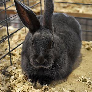Mini-Satin rabbit - blue