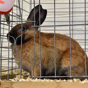 Mini-Satin rabbit - tort-black