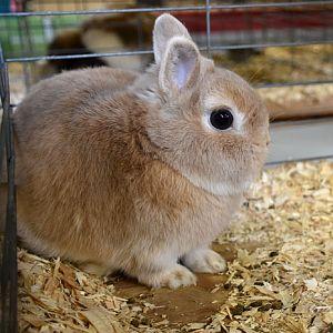 Netherland Dwarf rabbit - fawn