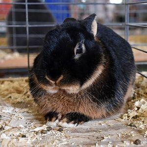 Netherland Dwarf rabbit - tan variety, black otter pattern