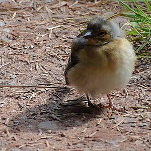 Baby Robin (European)