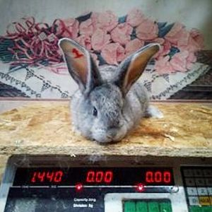 Geoff- Light Grey Flemish Giant
