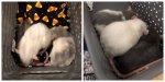 Rattie Growth.jpg