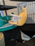 Nov 2019 Luna the banana rat.jpg