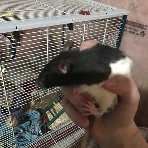 My rats!