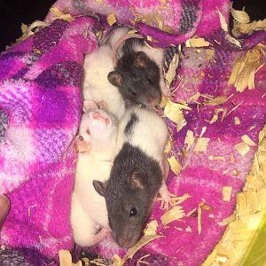 rats Richmond Virginia