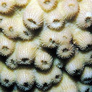 Echinopora_forskaliana