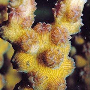 Echinopora_mammiformis