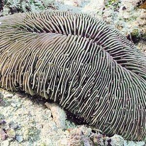Fungia_seychellensis