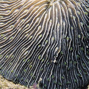 Fungia_granulosa