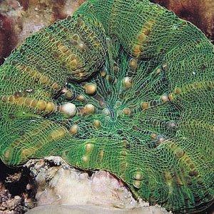 Scolymia_australis