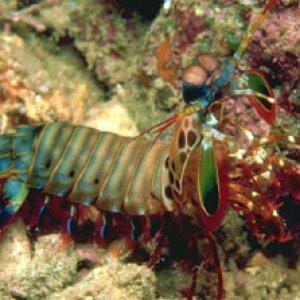 Mantis_Shrimp