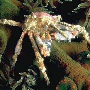 spider_crab