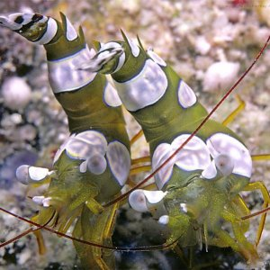 shrimp_ambonian