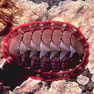 chiton_common